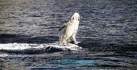 Mario's picture of Risso Dolphin