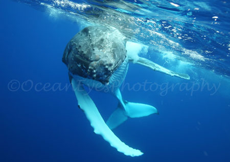 South Pacific Humpback Whale